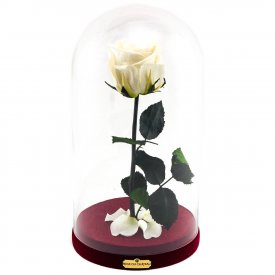 Bílá věčná růže Beauty & The Beast
